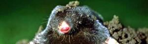 Mole Control Essex